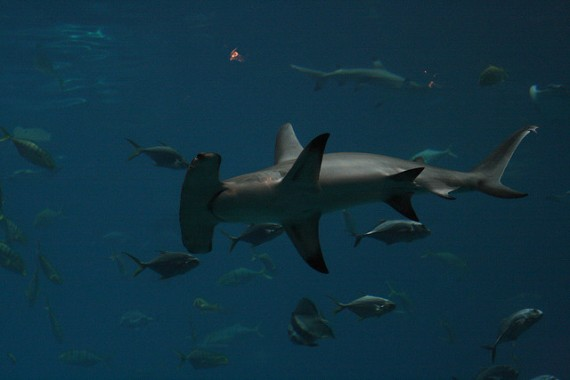 Great Hammerhead Shark (Sphyrna mokarran)
