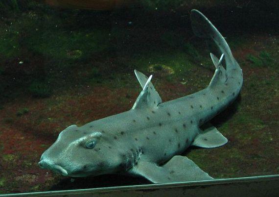 Horn Shark (Heterodontus francisci)