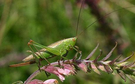 This is a cricket