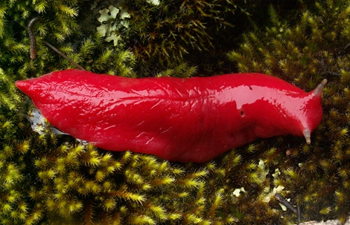 Kaputar_pink_slug